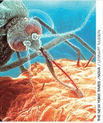 Στο μικροσκόπιο. Κουνούπι  κάνει επίθεση σε άνθρωπο για  να τραφεί