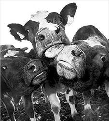 αγελάδες...